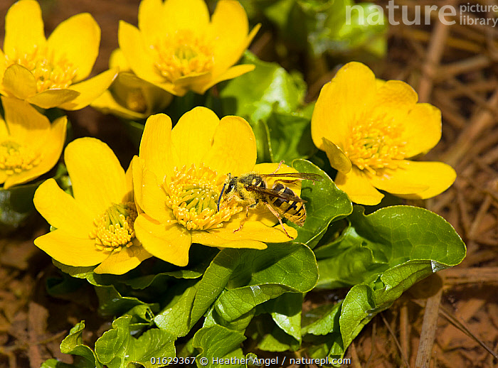 Wasp nectaring on Marsh marigold (Caltha palustris), picking up pollen on head, thorax and hairs on body. Turkey. May.  ,  Plant,Vascular plant,Flowering plant,Dicot,Marsh marigold,Yellow marshmarigold,Animal,Wildlife,Arthropod,Insect,Plantae,Plant,Tracheophyta,Vascular plant,Magnoliopsida,Flowering plant,Angiosperm,Seed plant,Spermatophyte,Spermatophytina,Angiospermae,Ranunculales,Dicot,Dicotyledon,Ranunculanae,Ranunculaceae,Caltha,Marsh marigold,Caltha palustris,Yellow marshmarigold,Yellow marsh marigold,Kingcup,Trollius paluster,Caltha arctica,Caltha asarifolia,Animalia,Animal,Wildlife,Hexapoda,Arthropod,Invertebrate,Hexapod,Arthropoda,Insecta,Insect,Hymenoptera,Wasp,Wasps,Pollination,Colour,Yellow,Asia,Middle East,Turkey,Flower,Pollen,Stamen,Anther,Anthers,Stamens,Feeding,Nectaring,  ,  Heather Angel