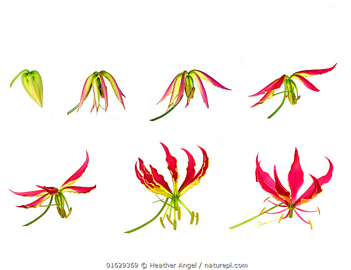 Flame lily (Gloriosa superba), timelapse sequence from opening bud to flowering, tepals becoming reflexed. Flower pollinated by butterflies. Controlled conditions.  ,  Plant,Vascular plant,Flowering plant,Monocot,Flame lily,Plantae,Plant,Tracheophyta,Vascular plant,Magnoliopsida,Flowering plant,Angiosperm,Seed plant,Spermatophyte,Spermatophytina,Angiospermae,Liliales,Monocot,Monocotyledon,Lilianae,Colchicaceae,Gloriosa,Flame lily,Fire lily,Gloriosa lily,Glory lily,Gloriosa superba,Gloriosa rothschildiana,Methonica superba,Methonica grandiflora,Gloriosa abyssinica,Pollination,Opening,Change,Growth,Copy Space,Plain Background,White Background,Composite Image,Composite Images,Digital Composite,Time Lapse,Flower,Petal,Petals,Stamen,Anther,Anthers,Stamens,Indoors,Studio Shot,Negative space,Timelapse  ,  Heather Angel