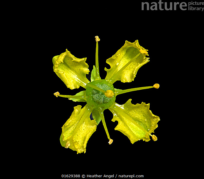 Common rue (Ruta graveolens) flower in visible light, nectar at base of petals. Stamens flip up sequentially with one still folded over the receptacle. Surrey, England, UK. Native to Balkan Peninsula. Focus stacked. 1/2., Symmetry,Colour,Yellow,Few,Four,Group,Copy Space,Cutout,Plain Background,Black Background,Plant,Flower,Petal,Petals,Stamen,Anther,Anthers,Stamens,Negative space,Nectar,, Heather Angel