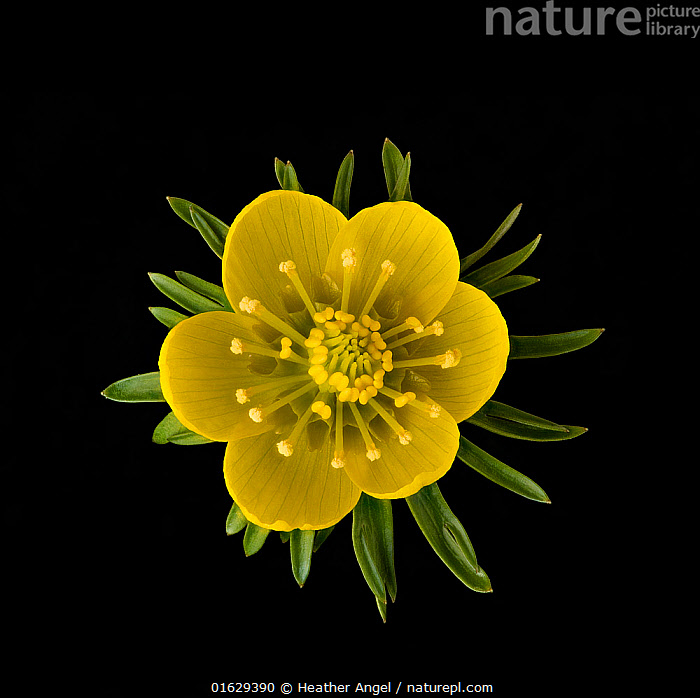 Winter aconite (Eranthis hyemalis) with ring of nectaries below stamens. Focus stacked.  ,  Plant,Vascular plant,Flowering plant,Dicot,Winter aconite,Plantae,Plant,Tracheophyta,Vascular plant,Magnoliopsida,Flowering plant,Angiosperm,Seed plant,Spermatophyte,Spermatophytina,Angiospermae,Ranunculales,Dicot,Dicotyledon,Ranunculanae,Ranunculaceae,Eranthis,Winter aconite,Eranthis hyemalis,Wolf&#39,s bane,Helleborus hyemalis,Colour,Yellow,Cutout,Plain Background,Black Background,Flower,Pistil,Carpel,Carpels,Pistils,Stigma,Stigmas,Sepal,Sepals,Stamen,Anther,Anthers,Stamens,  ,  Heather Angel