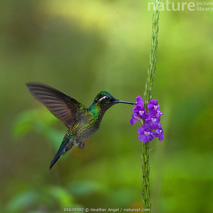 Purple throated mountain gem hummingbird (Lampornis calolaemus) hovering as it nectars on Porterweed (Stachytarpheta frantzii). Costa Rica.  ,  Animal,Wildlife,Vertebrate,Bird,Birds,Hummingbird,Mountain gem hummingbird,Animalia,Animal,Wildlife,Vertebrate,Aves,Bird,Birds,Apodiformes,Trochilidae,Hummingbird,Lampornis,Mountain gem hummingbird,Flying,Hovering,Latin America,Central America,Costa Rica,Plant,Flower,Feeding,Biodiversity hotspot,Nectaring,Lampornis calolaemus,Purple throated mountain gem,Purple-throated mountain-gem,  ,  Heather Angel