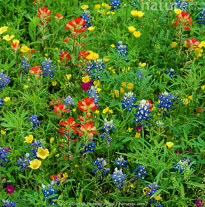 Texas bluebonnets (Lupinus texensis) and Indian paintbrush (Castilleja coccinea) amongst wildflowers in ditch beside byway. Rains triggered germinaton of annual seeds. Cuero, Texas, USA. April., Plant,Vascular plant,Flowering plant,Rosid,Legume,Lupin,Texas bluebonnet,Asterid,Broomrape family,Indian paintbrush,Scarlet Indian paintbrush,American,Plantae,Plant,Tracheophyta,Vascular plant,Magnoliopsida,Flowering plant,Angiosperm,Seed plant,Spermatophyte,Spermatophytina,Angiospermae,Fabales,Rosid,Dicot,Dicotyledon,Rosanae,Fabaceae,Legume,Pea,Bean,Leguminosae,Lupinus,Lupin,Lupine,Broom,Genisteae,Cytiseae,Lupinus texensis,Texas bluebonnet,Texas lupine,Lupinus leonensis,Lamiales,Asterid,Asteranae,Orobanchaceae,Broomrape family,Broomrape,Castilleja,Indian paintbrush,Indian paint brush,Prairie fire,Castilleja coccinea,Scarlet Indian paintbrush,Scarlet painted cup,Castilleja ludoviciana,Bartsia coccinea,Colour,Colourful,North America,USA,Southern USA,Texas,Wildflower,Wildflowers,Flower,American,United States of America,De itt County,Cuero,, Heather Angel