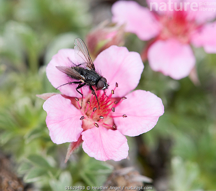 Fly (Diptera) feeding on Pink cinquefoil (Potentilla nitida). Flies are main pollinators in Dolomites, becoming active at lower temperatures than bees. Dolomites, Italy, July.  ,  Plant,Vascular plant,Flowering plant,Rosid,Animal,Wildlife,Arthropod,Insect,True fly,Plantae,Plant,Tracheophyta,Vascular plant,Magnoliopsida,Flowering plant,Angiosperm,Seed plant,Spermatophyte,Spermatophytina,Angiospermae,Rosales,Rosid,Dicot,Dicotyledon,Rosanae,Rosaceae,Animalia,Animal,Wildlife,Hexapoda,Arthropod,Invertebrate,Hexapod,Arthropoda,Insecta,Insect,Diptera,True fly,Fly,Pollination,Europe,Southern Europe,Italy,Flower,Feeding,Potentilla,Potentilla nitida,Dolomite mountains,Dolomites,  ,  Heather Angel