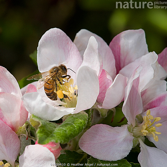 Honey bee (Apis mellifera) forages on pollen in Apple (Malus domestica) flower, collecting pollen in pollen basket. In garden, Surrey, England, UK. May.  ,  Angiosperm,Angiospermae,Animal,Animalia,Apid bee,Apidae,Apini,Apis,Apis mellifera,Apis mellifica,Apocrita,Apoidea,Apple,Apple tree,Arthropod,Arthropoda,Bee,Collecting,Colonial bee,Corbicula,Cultivated apple tree,Dicot,Dicotyledon,Edible,England,Europe,European honey bee,Flower,Flowering plant,Foraging,Fruit,Fruits,Great Britain,Hexapod,Hexapoda,Honey bee,Honeybee,Hymenoptera,Insect,Insecta,Invertebrate,Magnoliopsida,Malus,Malus domestica,Malus sylvestris orientalis,Plant,plant plant,Plantae,Pollen basket,Pyrus malus var. mitis,Rosaceae,Rosales,Rosanae,Rosid,Spermatophyte,Spermatophytina,Surrey,Tracheophyta,Tree,Trees,UK,Vascular plant,Western Europe,Western honey bee,Wildlife  ,  Heather Angel