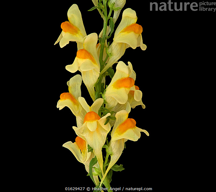 Common toadflax (Linaria vulgaris), orange nectar guides on lower lip and long spur containing nectar. Surrey, England, UK. Focus stacked., plants,flowers,toadflax,common toadflax,Linaria,Linaria vulgaris,British,wildflowers,yellow,butter and eggs,nectar guides,orange,angiosperms,black background,Plantaginaceae,perennials,,Plant,Vascular plant,Flowering plant,Asterid,Plantain,Toadflax,Common toadflax,Plantae,Plant,Tracheophyta,Vascular plant,Magnoliopsida,Flowering plant,Angiosperm,Seed plant,Spermatophyte,Spermatophytina,Angiospermae,Lamiales,Asterid,Dicot,Dicotyledon,Asteranae,Plantaginaceae,Plantain,Linaria,Toadflax,Europe,Western Europe,UK,Great Britain,England,Surrey,Copy Space,Cutout,Plain Background,Black Background,Flower,Indoors,Studio Shot,Negative space,Linaria vulgaris,Common toadflax,, Heather Angel