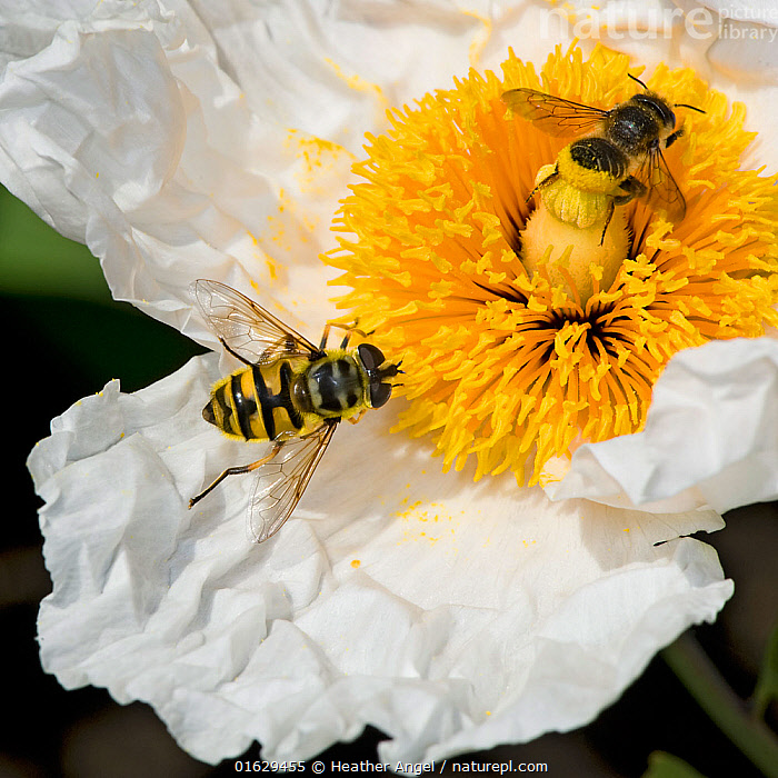 Dead head hoverfly (Myathropa florea) and Leaf cutter bee (Megachile centuncularis) female feeding on Californian tree poppy (Romneya coulteri) pollen. Bee transferring pollen from abdomen to stigma. In garden, Surrey, England, UK. July., Plant,Vascular plant,Flowering plant,Dicot,Animal,Wildlife,Arthropod,Insect,Leaf cutting bee,Leafcutter bee,True fly,Hoverfly,Dead head hoverfly,Solitary bee,Plantae,Plant,Tracheophyta,Vascular plant,Magnoliopsida,Flowering plant,Angiosperm,Seed plant,Spermatophyte,Spermatophytina,Angiospermae,Ranunculales,Dicot,Dicotyledon,Ranunculanae,Papaveraceae,Fumariaceae,Animalia,Animal,Wildlife,Hexapoda,Arthropod,Invertebrate,Hexapod,Arthropoda,Insecta,Insect,Hymenoptera,Megachilidae,Leaf cutting bee,Bee,Apocrita,Megachile,Leafcutter bee,Leaf cutter bee,Megachile centuncularis,Apis centuncularis,Diptera,True fly,Fly,Syrphidae,Hoverfly,Hover fly,Flower fly,Syrphid fly,Syrphoidea,Muscomorpha,Brachycera,Myathropa,Myathropa florea,Dead head hoverfly,Dead head fly,Musca florea,Musca ablecta,Myathropa ablecta,Pollination,Europe,Western Europe,UK,Great Britain,England,Surrey,Female animal,Flower,Pistil,Carpel,Carpels,Pistils,Stigma,Stigmas,Stamen,Anther,Anthers,Stamens,Feeding,Mixed species,Solitary bee,Romneya,Romneya coulteri,Coulter&#39,s matilija poppy,Coulters matilija poppy,California tree poppy,, Heather Angel