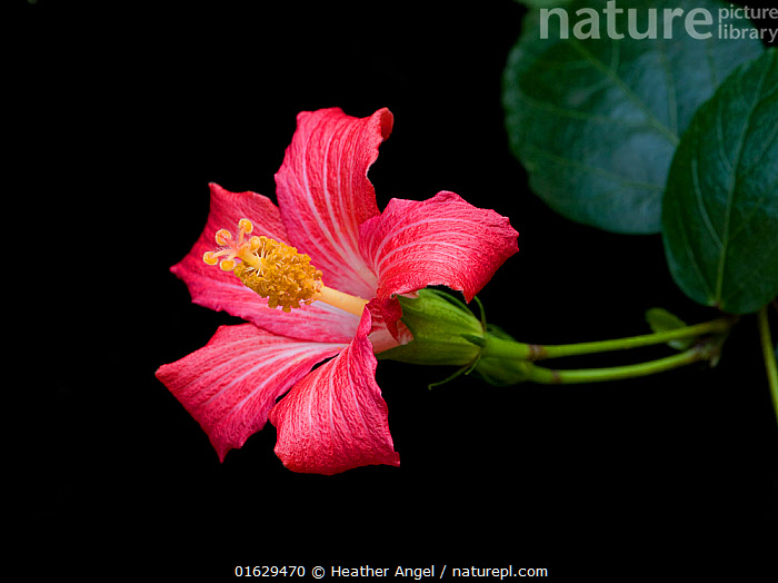 Mandrinette (Hibiscus fragilis), cultivated in breeding program at Kew Gardens, London, UK. Endemic to Mauritius.  ,  Plant,Vascular plant,Flowering plant,Rosid,Mallow,Rosemallow,Plantae,Plant,Tracheophyta,Vascular plant,Magnoliopsida,Flowering plant,Angiosperm,Seed plant,Spermatophyte,Spermatophytina,Angiospermae,Malvales,Rosid,Dicot,Dicotyledon,Rosanae,Malvaceae,Mallow,Mauve,Hibiscus,Rosemallow,Style,Stylish,Colour,Pink,Africa,Mauritius,Republic of Mauritius,Cutout,Plain Background,Black Background,Flower,Stamen,Anther,Anthers,Stamens,Endemic,Hibiscus fragilis,Mandrinette,Critically endangered,Endangered species,Endangered,Threatened  ,  Heather Angel