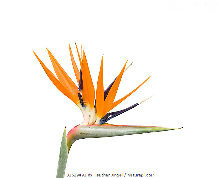 Bird of paradise / Crane flower (Strelitzia reginae). Cultivated in garden. Native to South Africa.  ,  Plant,Vascular plant,Flowering plant,Monocot,Bird of paradise flower,Plantae,Plant,Tracheophyta,Vascular plant,Magnoliopsida,Flowering plant,Angiosperm,Seed plant,Spermatophyte,Spermatophytina,Angiospermae,Zingiberales,Monocot,Monocotyledon,Lilianae,Strelitziaceae,Strelitzia,Bird of paradise flower,Strelitzia reginae,Crane flower,Colour,Orange,Hairstyle,Spike,Spiked,Spikes,Spikey,Spiky,Africa,Southern Africa,South Africa,Cutout,Plain Background,White Background,South African,  ,  Heather Angel