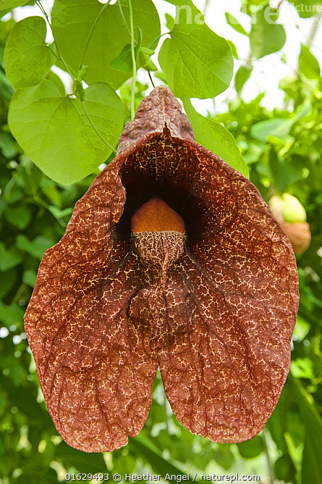 Brazilian Dutchman's pipe flower (Aristolochia gigantea) with green inflated pouch. Flower smells of carrion to attract fly pollinators. Cultivated in glasshouse, Surrey, England, UK. Native to Brazil., Plant,Vascular plant,Flowering plant,Magnolid,Dutchman&#39,s pipe,Plantae,Plant,Tracheophyta,Vascular plant,Magnoliopsida,Flowering plant,Angiosperm,Seed plant,Spermatophyte,Spermatophytina,Angiospermae,Piperales,Magnolid,Dicot,Dicotyledon,Magnolianae,Aristolochiaceae�,Aristolochia,Dutchman&#39,s pipe,Dutchmans pipe,Colour,Brown,Latin America,South America,Brazil,Flower,Mimicking,Aristolochia gigantea,Brazilian Dutchman&#39,s pipe,Brazilian Dutchmans pipe,Giant pelican flower,Aristolochia sylvicola,, Heather Angel