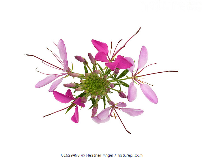 Spider flower (Cleome hassleriana) from above, flowers fading with age. Native to South America.  ,  Colour,Pink,Latin America,South America,Cutout,Plain Background,White Background,High Angle View,Plant,Flower,Pistil,Carpel,Carpels,Pistils,Stigma,Stigmas,Indoors,Studio Shot,Elevated view,  ,  Heather Angel
