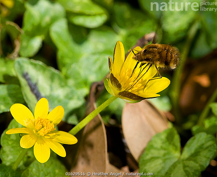 Bee fly (Bombylius major) foraging on Lesser celandine (Ficaria verna) on roadside verge. Pollen is picked up on long proboscis and legs when touching anthers. Surrey, England, UK. April.  ,  Plant,Vascular plant,Flowering plant,Dicot,Buttercup,Lesser celandine,Animal,Wildlife,Arthropod,Insect,True fly,Bee fly,Dark edged bee fly,Plantae,Plant,Tracheophyta,Vascular plant,Magnoliopsida,Flowering plant,Angiosperm,Seed plant,Spermatophyte,Spermatophytina,Angiospermae,Ranunculales,Dicot,Dicotyledon,Ranunculanae,Ranunculaceae,Ranunculus,Buttercup,Kumlienia,Ranunculus ficaria,Lesser celandine,Fig buttercup,Ficaria ficaria,Ficaria verna,Ficaria grandiflora,Animalia,Animal,Wildlife,Hexapoda,Arthropod,Invertebrate,Hexapod,Arthropoda,Insecta,Insect,Diptera,True fly,Fly,Bombyliidae,Bee fly,Beefly,Asiloidea,Asilomorpha,Brachycera,Bombylius,Bombylius major,Dark edged bee fly,Large bee fly,Greater bee fly,Common bee fly,Asilus lanigerus,Bombylius albipectus,Bombylius variegatus,Pollination,Foraging,Length,Long,Lengthy,Europe,Western Europe,UK,Great Britain,England,Surrey,Flower,Animal Legs,Legs,Leg,Spring,  ,  Heather Angel