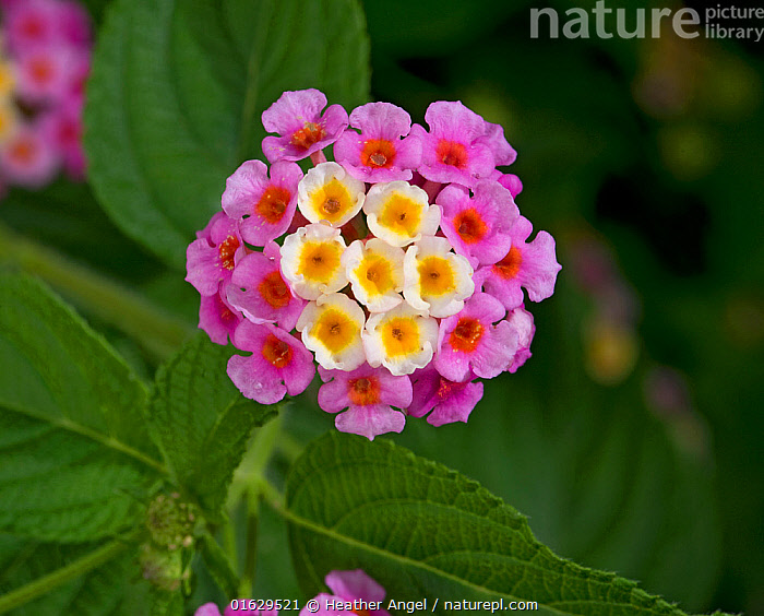 Wild sage (Lantana camara), flowers turn pink following pollination. Native to tropical America. Invasive species, Tanzania., Plant,Vascular plant,Flowering plant,Asterid,Verbena family,Largeleaf lantana,Plantae,Plant,Tracheophyta,Vascular plant,Magnoliopsida,Flowering plant,Angiosperm,Seed plant,Spermatophyte,Spermatophytina,Angiospermae,Lamiales,Asterid,Dicot,Dicotyledon,Asteranae,Verbenaceae,Verbena family,Vervain family,Lantana,Lantana camara,Largeleaf lantana,Spanish flag,West Indian lantana,Bush lantana,Red sage,Lantana urticifolia,Lantana arida,Lantana glandulosissima,Colour,Pink,Africa,East Africa,Tanzania,Flower,Exotics,Alien,Alien Species,Invasive,Introduced species,, Heather Angel