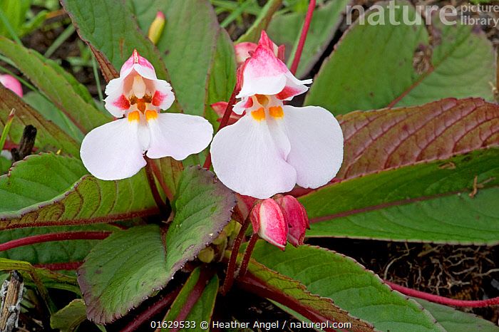 Balsam (Impatiens rosulata) with yellow nectar guides. Endemic to Kitulo Plateau, Tanzania.  ,  Plant,Vascular plant,Flowering plant,Asterid,Touch me not,Plantae,Plant,Tracheophyta,Vascular plant,Magnoliopsida,Flowering plant,Angiosperm,Seed plant,Spermatophyte,Spermatophytina,Angiospermae,Ericales,Asterid,Dicot,Dicotyledon,Asteranae,Balsaminaceae,Impatiens,Touch me not,Two,Africa,East Africa,Tanzania,Flower,Endemic,Impatiens rosulata,  ,  Heather Angel