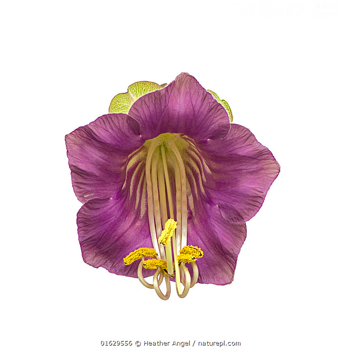 Cup and saucer plant (Cobaea scandens) with stamens contracting. Wide mouthed flower pollinated by bats in South America. Focus stacked.  ,  Reproducing,Reproduce,Reproduction,Colour,Purple,Cutout,Plain Background,White Background,Close Up,Plant,Flower,Petal,Petals,Stamen,Anther,Anthers,Stamens,Indoors,Studio Shot,  ,  Heather Angel