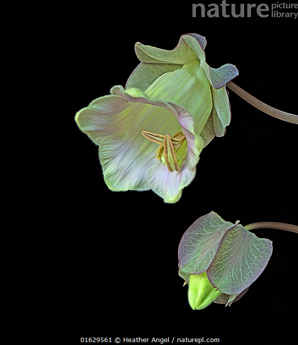Cup and saucer plant (Cobaea scandens), bud and opening flower. Cultivated plant. Focused stacked., Plant,Vascular plant,Flowering plant,Asterid,Plantae,Plant,Tracheophyta,Vascular plant,Magnoliopsida,Flowering plant,Angiosperm,Seed plant,Spermatophyte,Spermatophytina,Angiospermae,Ericales,Asterid,Dicot,Dicotyledon,Asteranae,Polemoniaceae,Cutout,Plain Background,Black Background,Bud,Buds,Flower,Stamen,Anther,Anthers,Stamens,Indoors,Studio Shot,Cobaea,Cobaea scandens,Cathedral bell,Cathedral bells,Cup-and-saucer vine,Mexican ivy,Monastery bells,, Heather Angel