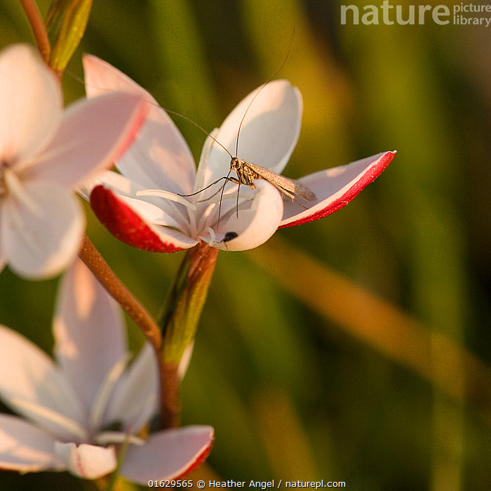 Moth (Lepidoptera) nectaring on Bokkeveld evening lily (Hesperantha cucullata) at dusk. Nieuwoudtville, South Africa. August.  ,  Animal,Wildlife,Arthropod,Insect,Animalia,Animal,Wildlife,Hexapoda,Arthropod,Invertebrate,Hexapod,Arthropoda,Insecta,Insect,Lepidoptera,Lepidopterans,Pollination,Africa,Southern Africa,South Africa,Plant,Flower,Feeding,Nectaring,South African,Northern Cape,Nieuwoudtville,  ,  Heather Angel