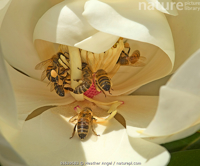 Honey bees (Apis mellifera) tearing stamens to feed on pollen of Southern magnolia (Magnolia grandiflora). Surrey, England, UK. July., Animal,Wildlife,Arthropod,Insect,Bee,Honey bee,Animalia,Animal,Wildlife,Hexapoda,Arthropod,Invertebrate,Hexapod,Arthropoda,Insecta,Insect,Hymenoptera,Apidae,Bee,Apid bee,Apoidea,Apocrita,Apis,Honey bee,Honeybee,Colonial bee,Apini,Apis mellifera,European honey bee,Western honey bee,Apis mellifica,Pollination,Group,Europe,Western Europe,UK,Great Britain,England,Surrey,Close Up,Plant,Flower,Stamen,Anther,Anthers,Stamens,Feeding,, Heather Angel