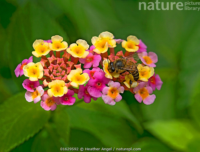 Honey bee (Apis mellifera) nectaring on freshly opened yellow Lantana (Lantana camara) flowers. Flowers turn pink when nectar no longer provided. In garden, Tanzania. Native to tropical Americas., Plant,Vascular plant,Flowering plant,Asterid,Verbena family,Largeleaf lantana,Animal,Wildlife,Arthropod,Insect,Bee,Honey bee,Plantae,Plant,Tracheophyta,Vascular plant,Magnoliopsida,Flowering plant,Angiosperm,Seed plant,Spermatophyte,Spermatophytina,Angiospermae,Lamiales,Asterid,Dicot,Dicotyledon,Asteranae,Verbenaceae,Verbena family,Vervain family,Lantana,Lantana camara,Largeleaf lantana,Spanish flag,West Indian lantana,Bush lantana,Red sage,Lantana urticifolia,Lantana arida,Lantana glandulosissima,Animalia,Animal,Wildlife,Hexapoda,Arthropod,Invertebrate,Hexapod,Arthropoda,Insecta,Insect,Hymenoptera,Apidae,Bee,Apid bee,Apoidea,Apocrita,Apis,Honey bee,Honeybee,Colonial bee,Apini,Apis mellifera,European honey bee,Western honey bee,Apis mellifica,Pollination,Foraging,Colour,Colourful,Africa,East Africa,Tanzania,Flower,Feeding,Exotics,Alien,Alien Species,Invasive,Introduced species,Nectaring,, Heather Angel
