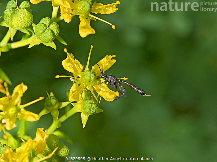 Parasitic wasp (Gasteruption assectator) nectaring on Common rue (Ruta graveolens). Surrey, England, UK. July., Animal,Wildlife,Arthropod,Insect,Wasp,Gasteruptid wasp,Animalia,Animal,Wildlife,Hexapoda,Arthropod,Invertebrate,Hexapod,Arthropoda,Insecta,Insect,Hymenoptera,Gasteruptiidae,Wasp,Apocrita,Gasteruption,Gasteruptid wasp,Pollination,Foraging,Europe,Western Europe,UK,Great Britain,England,Surrey,Plant,Flower,Feeding,Nectaring,Gasteruption assectator,, Heather Angel
