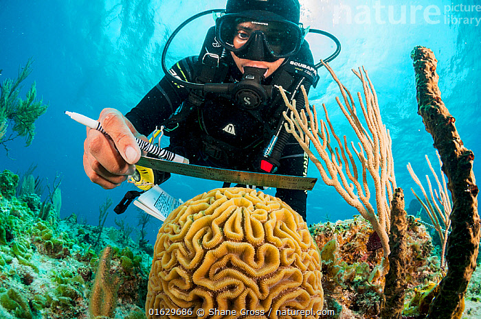 Marine biologist measuring Brain coral (Colpophyllia natans), ongoing program to monitor and restore coral reefs in The Bahamas. Eleuthera, Bahamas. 2017.  ,  Animal,Wildlife,Cnidarian,Anthrozoan,Hard coral,Brain coral,Animalia,Animal,Wildlife,Cnidaria,Cnidarian,Coelentrerata,Anthozoa,Anthrozoan,Scleractinia,Hard coral,Faviidae,Colpophyllia,Colpophyllia natans,Brain coral,Diving,Measuring,Recording,People,Scientist,Scientists,Research,Researching,The Caribbean,Caribbean,West Indies,Tropical,Reef,Reefs,Coral Reef,Coral Reefs,Ocean,Atlantic Ocean,Science,Marine,Underwater,Water,Conservation,Saltwater,Sea,Biodiversity hotspots,Diver,Researcher,Monitoring,Great Bahama Bank,Eleuthera,Invertebrate,Invertebrates,Marine  ,  Shane Gross