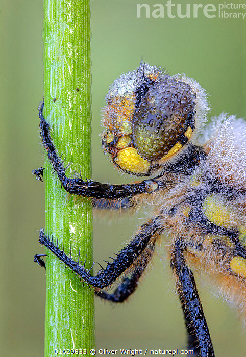 Four-spotted chaser (Libellula quadrimaculata) resting on stem, covered in early morning dew. Skipwith Common National Nature Reserve, North Yorkshire, England, UK. May. Focus stacked image.  ,  Animal,Wildlife,Arthropod,Insect,Pterygota,Skimmer,Four spotted chaser,Animalia,Animal,Wildlife,Hexapoda,Arthropod,Invertebrate,Hexapod,Arthropoda,Insecta,Insect,Odonata,Pterygota,Libellulidae,Skimmer,Skimmer dragonfly,Dragonfly,Anisoptera,Epiprocta,Libellula,Libellula quadrimaculata,Four spotted chaser,Fourspotted chaser,Four spotted skimmer,Fourspot pond skimmer,Four spot pond skimmer,Four spotted libellula,Europe,Western Europe,UK,Great Britain,England,North Yorkshire,Profile,Close Up,Side View,Animal Legs,Legs,Leg,Liquid,Liquids,Droplet,Drips,Drop,Droplets,Drops,Dew,Nature,Nature Reserve,Water,Yorkshire,Skipwith Common National Nature Reserve,  ,  Oliver Wright