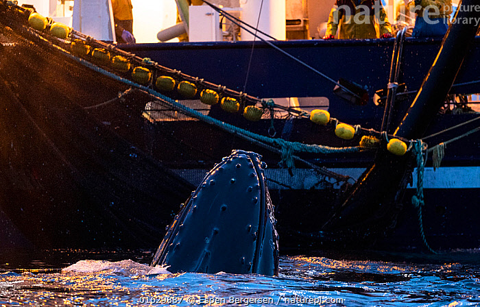 Humpback whale (Megaptera novaeangliae) feeding around herring fishing vessel. Kvanangen, Troms, Norway. November, Animal,Wildlife,Vertebrate,Mammal,Ceteacean,Humpback Whale,Baleen whale,Animalia,Animal,Wildlife,Vertebrate,Mammalia,Mammal,Cetacea,Ceteacean,Balaenopteridae,Megaptera,Megaptera novaeangliae,Humpback Whale,Hump Whale,Hunchbacked Whale,Megaptera nodosa,Megaptera lalandii,Megaptera longimana,Europe,Northern Europe,North Europe,Nordic Countries,Scandinavia,Norway,Boat,Fishing Boat,Ocean,Atlantic Ocean,Marine,Water,Animal Behaviour,Feeding,Cold Water,Working-boats,Behaviour,Saltwater,Surfacing,Coldwater,Surface,Behavioural,Baleen whale,, Espen Bergersen