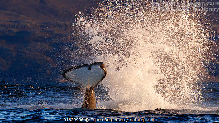 Killer whale / orca (Orcinus orca) splashing with tail fluke. Kvaloya, Troms, Norway October Sequence 4 of 7  ,  Animal,Wildlife,Vertebrate,Mammal,Ceteacean,Oceanic dolphin,Killer Whale,Animalia,Animal,Wildlife,Vertebrate,Mammalia,Mammal,Cetacea,Ceteacean,Delphinidae,Oceanic dolphin,Dolphin,Odontoceti,Orcinus,Orcinus orca,Killer Whale,Orca,Orcinus gladiator,Orcinus ater,Orcinus capensis,Splashing,Europe,Northern Europe,North Europe,Nordic Countries,Scandinavia,Norway,Tail,Ocean,Atlantic Ocean,Coast,Marine,Coastal,Water,Animal Behaviour,Cold Water,Behaviour,Saltwater,Surfacing,Tail slapping,Coldwater,Surface,Behavioural,Marine,,catalogue12  ,  Espen Bergersen