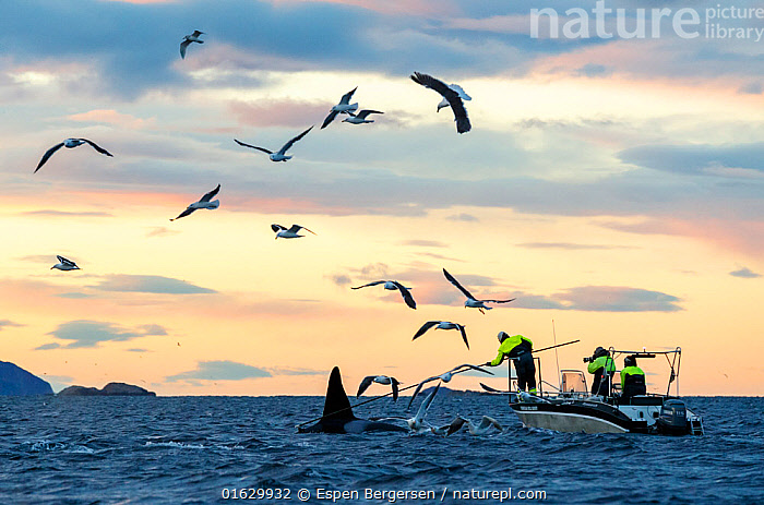 Tagging of Killer whales / orcas (Orcinus orca) with camera tag. Troms, Norway. November.  ,  Animal,Wildlife,Vertebrate,Mammal,Ceteacean,Oceanic dolphin,Killer Whale,Animalia,Animal,Wildlife,Vertebrate,Mammalia,Mammal,Cetacea,Ceteacean,Delphinidae,Oceanic dolphin,Dolphin,Odontoceti,Orcinus,Orcinus orca,Killer Whale,Orca,Orcinus gladiator,Orcinus ater,Orcinus capensis,Group Of Animals,Flock,Group,Arctic,Polar,Ocean,Atlantic Ocean,Norwegian Sea,Norskehavet,Marine,Water Surface,Water,Temperate,Saltwater,Sea,Surface,Tagging,Marine  ,  Espen Bergersen