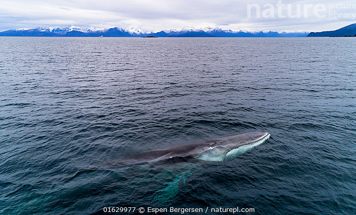 Aerial view of Fin whale (Balaenoptera physalus) Norway. November.  ,  Aerial View,Animal,Animalia,Arctic,Atlantic Ocean,Balaenoptera,Balaenoptera physalus,Balaenopteridae,Baleen whale,Cetacea,cetacean,Common Rorqual,Drone,Drone shot,Elevated view,Endangered,Endangered species,Fin Whale,Finback,Fin-backed Whale,Finner,Herring Whale,High Angle View,Mammal,Mammalia,Marine,Norskehavet,Norwegian Sea,Ocean,Polar,Razorback,Saltwater,Sea,Surface,Temperate,threatened,Vertebrate,Water,Water Surface,Wildlife  ,  Espen Bergersen