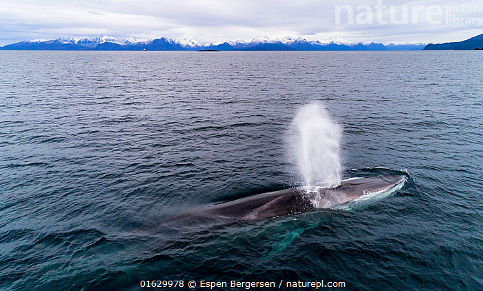 Aerial view of Fin whale (Balaenoptera physalus) Norway. November  ,  Aerial View,Animal,Animalia,Arctic,Atlantic Ocean,Balaenoptera,Balaenoptera physalus,Balaenopteridae,Baleen whale,Cetacea,cetacean,Common Rorqual,Drone,Drone shot,Elevated view,Endangered,Endangered species,Fin Whale,Finback,Fin-backed Whale,Finner,Herring Whale,High Angle View,Mammal,Mammalia,Marine,Norskehavet,Norwegian Sea,Ocean,Polar,Razorback,Saltwater,Sea,Surface,Temperate,threatened,Vertebrate,Water,Water Surface,Wildlife  ,  Espen Bergersen