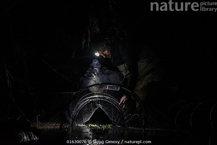 Researcher from platypusSPOT checking fyke net for Platypus (Ornithorhynchus anatinus), part of a river population study for Melbourne Water. Beaconsfield, Melbourne, Victoria, Australia. 2017., People,Man,Research,Researching,Dark,Australasia,Australia,Victoria,Melbourne,Copy Space,Artifical light,Electric Light,Flashlight,Flashlights,Torch,Torches,Net,Nets,Netting,Flowing Water,River,Night,Science,Freshwater,Water,Conservation,Negative space,Researcher,Fyke Net,, Doug Gimesy