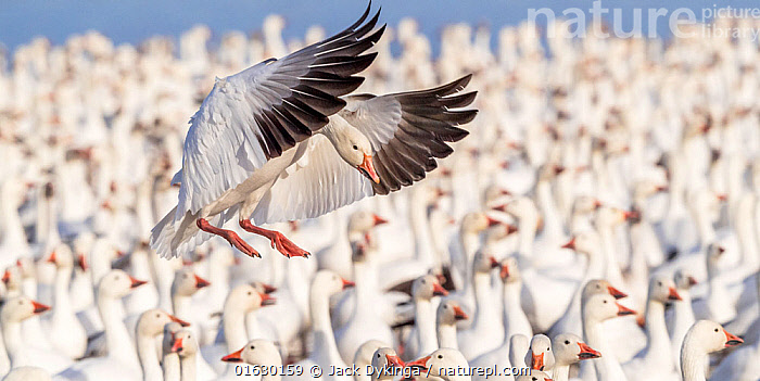 Snow goose (Chen caerulescens) landing into a tight packed flock on lake, Bosque del Apache National Wildlife Refuge, New Mexico, USA. January.  ,  Animal,Wildlife,Vertebrate,Bird,Birds,Water fowl,Waterfowl,True goose,Snow goose,American,Animalia,Animal,Wildlife,Vertebrate,Aves,Bird,Birds,Anseriformes,Water fowl,Galloanserans,Waterfowl,Anatidae,Chen,True goose,Goose,Anserini,Anserinae,Chen caerulescens,Snow goose,Anser caerulescens,Flying,Landing,Group Of Animals,Flock,Group,North America,USA,Western USA,Southwest USA,New Mexico,Bosque del Apache,American,United States of America,Wildfowl,Goose,Geese,,catalogue12  ,  Jack Dykinga