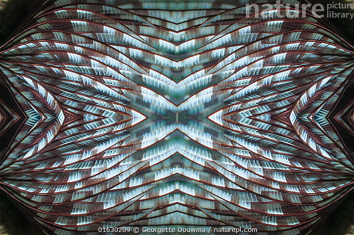 Kaleidoscopic image of Featherduster worm. Indonesia.  ,  Animal,Wildlife,Annelid,Polychaete,Tube worm,Feather duster worm,Animalia,Animal,Wildlife,Annelida,Annelid,Annelid worms,Polychaeta,Polychaete,Bristleworm,Bristle worm,Sabellida,Tube worm,Sabellidae,Feather duster worm,Pattern,Tropical,Marine,Underwater,Water,Arty shots,Saltwater,Kaleidoscope,Kaleidoscopic,Invertebrate,Invertebrates,Marine  ,  Georgette Douwma