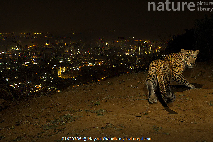Leopard (Panthera pardus) at night with city lights behind, Mumbai, India. November 2018. Camera trap image., Animal,Wildlife,Vertebrate,Mammal,Carnivore,Cat,Big cat,Leopard,Animalia,Animal,Wildlife,Vertebrate,Mammalia,Mammal,Carnivora,Carnivore,Felidae,Cat,Panthera,Big cat,Panthera pardus,Leopards,Asia,Indian Subcontinent,India,Mumbai,Bombay,Mumbay,City,Night,Leopard,Human-wildlife conflict,Endagered species,Threatened,Vulnerable, Nayan Khanolkar
