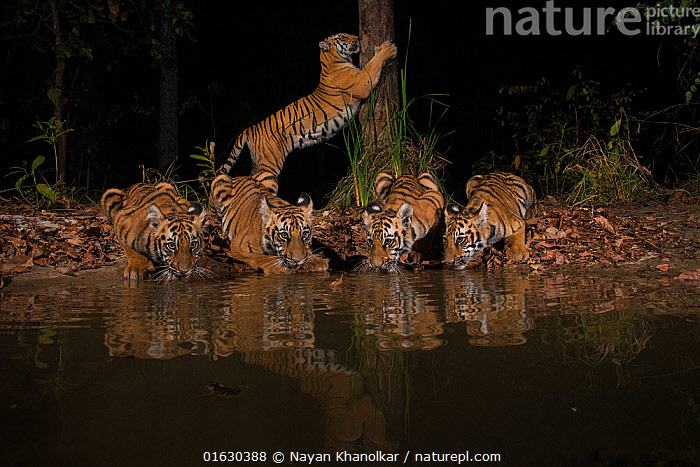 Tigress (Panthera tigris tigris) with her four cubs from Chandrapur district, Maharashtra, India. She lives in an area known for human-animal conflict and yet is successfully raising her four cubs in forest reserve of Bramhapuri. Here, the family is seen at an artificial water hole created by the forest department. March 2017.  ,  Animal,Wildlife,Vertebrate,Mammal,Carnivore,Cat,Big cat,Tiger,Animalia,Animal,Wildlife,Vertebrate,Mammalia,Mammal,Carnivora,Carnivore,Felidae,Cat,Panthera,Big cat,Panthera tigris,Tiger,Felis tigris,Tigris striatus,Tigris regalis,Asia,Indian Subcontinent,India,Water Hole,Water Holes,Night,Freshwater,Water,Maharashtra,Endangered species,threatened,Endangered  ,  Nayan Khanolkar