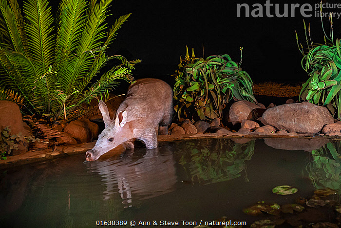 Aardvark (Orycteropus afer) drinking at night, Zimanga private game reserve, KwaZulu-Natal, South Africa. Medium repro only, Animal,Wildlife,Vertebrate,Mammal,Aardvark,Animalia,Animal,Wildlife,Vertebrate,Mammalia,Mammal,Tubulidentata,Aardvark,Orycteropodidae,Orycteropus,Orycteropus afer,Antbear,Africa,Southern Africa,South Africa,Reflection,Night,Freshwater,Pond,Water,Drinking,Reserve,Protected area,National Park,South African,Game reserve,KwaZulu-Natal Province,, Ann  & Steve Toon