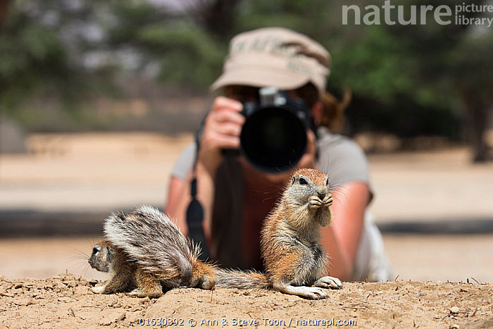 Photographer Ann Toon photographing Cape ground squirrels (Xerus inauris) Kgalagadi Transfrontier Park, South Africa, January 2016, Animal,Wildlife,Vertebrate,Mammal,Rodent,African ground squirrel,Cape ground squirrel,Animalia,Animal,Wildlife,Vertebrate,Mammalia,Mammal,Rodentia,Rodent,Sciuridae,Xerus,African ground squirrel,Xerus inauris,Cape ground squirrel,South African ground squirrel,Xerus africanus,Xerus capensis,Xerus dschinshicus,Xerus ginginianus,Xerus levaillantii,Xerus namaquensis,Xerus setosus,Geosciurus inauris,Capturing An Image,Photographing,Working,People,Woman,Photographer,Photographers,Adventure,Africa,Southern Africa,South Africa,Photography,Reserve,Protected area,National Park,International Parks,Kgalagadi Transfrontier Park,South African,Kgalagadi,, Ann  & Steve Toon