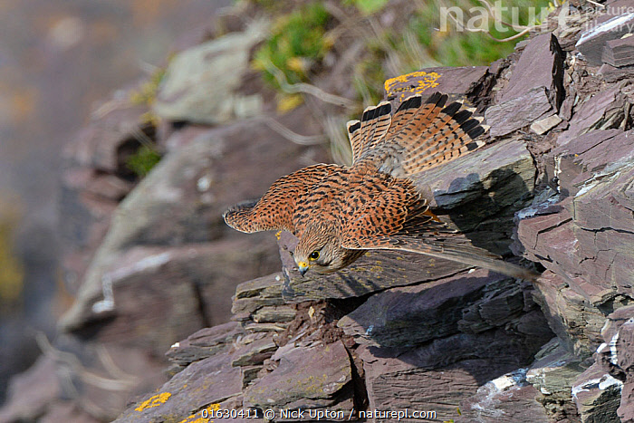 Kestrel (Falco tinnunculus) female in flight close to cliff face soon after taking off, Cornwall, UK, April.  ,  Animal,Wildlife,Vertebrate,Bird,Birds,Birds of prey,Falcon,Kestrel,Animalia,Animal,Wildlife,Vertebrate,Aves,Bird,Birds,Falconiformes,Birds of prey,Raptor,Falconidae,Falco,Falcon,Falco tinnunculus,Kestrel,European kestrel,Eurasian kestrel,Rock kestrel,Kestrels,Europe,Western Europe,UK,Great Britain,England,Cornwall,Female animal,  ,  Nick Upton
