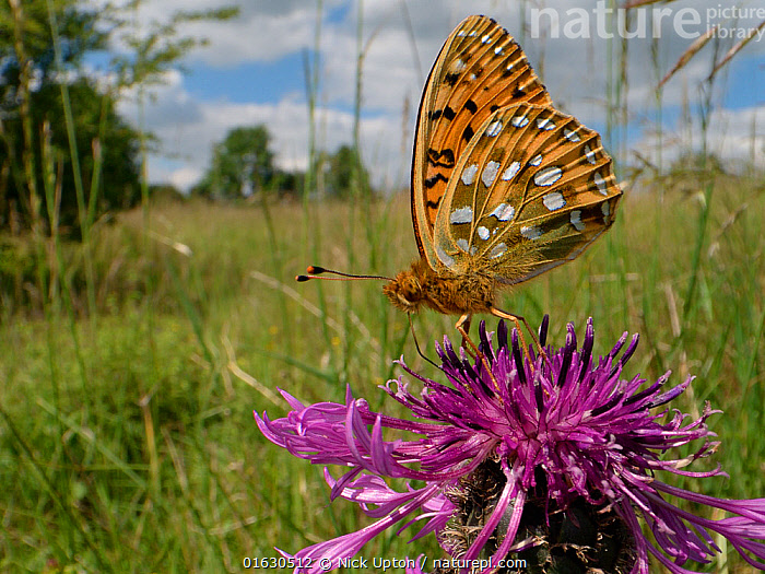 Dark green fritillary butterfly (Argynnis aglaja) nectaring on a Greater knapweed flower (Centaurea scabiosa) in a chalk grassland meadow, Wiltshire, UK, June.  ,  Plant,Vascular plant,Flowering plant,Asterid,Knapweed,Greater knapweed,Animal,Wildlife,Arthropod,Insect,Brushfooted butterfly,Fritillary,Dark green fritillary,Plantae,Plant,Tracheophyta,Vascular plant,Magnoliopsida,Flowering plant,Angiosperm,Seed plant,Spermatophyte,Spermatophytina,Angiospermae,Asterales,Asterid,Dicot,Dicotyledon,Asteranae,Asteraceae,Compositae,Centaurea,Knapweed,Star thistle,Centaurea scabiosa,Greater knapweed,Greater centaury,Scabious knapweed,Centaurea coriacea,Colymbada scabiosa,Animalia,Animal,Wildlife,Hexapoda,Arthropod,Invertebrate,Hexapod,Arthropoda,Insecta,Insect,Lepidoptera,Lepidopterans,Nymphalidae,Brushfooted butterfly,Fourfooted butterfly,Nymphalid,Butterfly,Papilionoidea,Argynnis,Fritillary,Longwing,Heliconian,Heliconninae,Argynnis aglaja,Dark green fritillary,Papilio aglaja,Papilio charlotta,Mesoacidalia aglaja,Colour,Purple,Europe,Western Europe,UK,Great Britain,England,Wiltshire,Flower,Feeding,  ,  Nick Upton