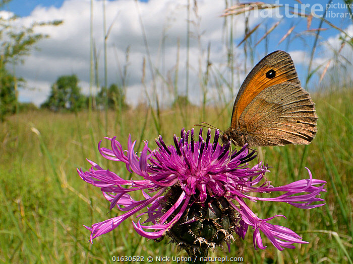 Meadow brown butterfly (Maniola jurtina) nectaring on a Greater knapweed flower (Centaurea scabiosa) in a chalk grassland meadow, Wiltshire, UK, June., Plant,Vascular plant,Flowering plant,Asterid,Knapweed,Greater knapweed,Animal,Wildlife,Arthropod,Insect,Brushfooted butterfly,Satyrine,Meadow brown,Plantae,Plant,Tracheophyta,Vascular plant,Magnoliopsida,Flowering plant,Angiosperm,Seed plant,Spermatophyte,Spermatophytina,Angiospermae,Asterales,Asterid,Dicot,Dicotyledon,Asteranae,Asteraceae,Compositae,Centaurea,Knapweed,Star thistle,Centaurea scabiosa,Greater knapweed,Greater centaury,Scabious knapweed,Centaurea coriacea,Colymbada scabiosa,Animalia,Animal,Wildlife,Hexapoda,Arthropod,Invertebrate,Hexapod,Arthropoda,Insecta,Insect,Lepidoptera,Lepidopterans,Nymphalidae,Brushfooted butterfly,Fourfooted butterfly,Nymphalid,Butterfly,Papilionoidea,Maniola,Satyrine,Satyrid,Brown,Satyrinae,Maniola jurtina,Meadow brown,Papilio jurtina,Papilio hispulla,Epinephele splendida,Colour,Purple,Europe,Western Europe,UK,Great Britain,England,Wiltshire,Flower,, Nick Upton