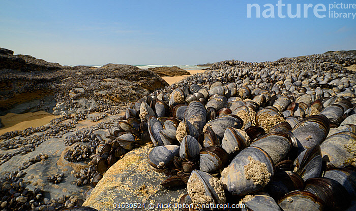 Dense bed of Common mussels (Mytilus edulis) exposed at low tide on rocks fringing a sandy beach, Godrevy, Cornwall, UK, April.  ,  Animal,Wildlife,Mollusc,Bivalve,Mussel,Common mussel,Animalia,Animal,Wildlife,Mollusca,Mollusc,Bivalvia,Bivalve,Mytiloida,Mussel,Mytilidae,Mytilus,Mytilus edulis,Common mussel,Mytilus abbreviatus,Mytilus borealis,Mytilus elegans,Europe,Western Europe,UK,Great Britain,England,Cornwall,Tide,Tides,Low Tide,Tide Out,Tidal,Invertebrate,Invertebrates  ,  Nick Upton