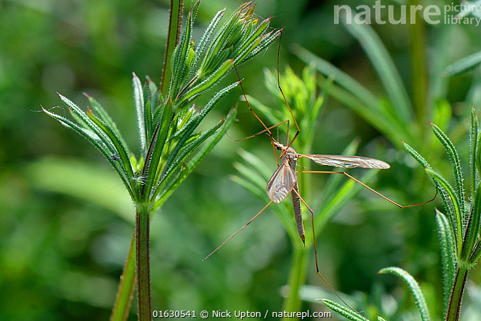 Male Common European Crane fly / Daddy long legs (Tipula paludosa) recently emerged and resting on Goose grass / Cleavers (Galium aparine) by a pond, Suffolk, UK, May.  ,  Plant,Vascular plant,Flowering plant,Asterid,Cleavers,Animal,Wildlife,Arthropod,Insect,True fly,Crane fly,European crane fly,Cranefly,Plantae,Plant,Tracheophyta,Vascular plant,Magnoliopsida,Flowering plant,Angiosperm,Seed plant,Spermatophyte,Spermatophytina,Angiospermae,Gentianales,Asterid,Dicot,Dicotyledon,Asteranae,Rubiaceae,Galium,Galium aparine,Cleavers,Bedstraw,Cleaverwort,Goose grass,Scarthgrass,Catchweed bedstraw,Galium spurium,Galium vaillantii,Animalia,Animal,Wildlife,Hexapoda,Arthropod,Invertebrate,Hexapod,Arthropoda,Insecta,Insect,Diptera,True fly,Fly,Tipulidae,Crane fly,Daddy long legs,Tipula,Tipula paludosa,European crane fly,Tipula wollastoni,Tipula fimbriata,Tipula flavolutescens,Europe,Western Europe,UK,Great Britain,England,Suffolk,Male Animal,Cranefly,  ,  Nick Upton