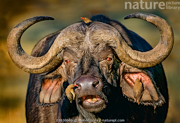 Cape buffalo (Syncerus caffer caffer) portrait, Red-billed oxpeckers (Buphagus erythrorhynchus) removing parasites.