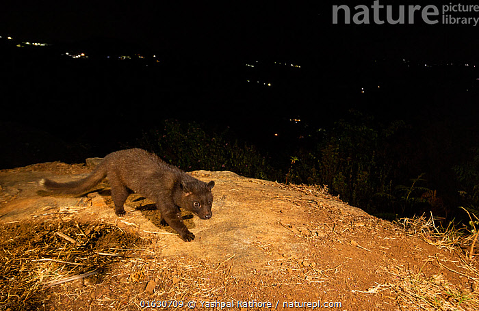 Brown palm civet (Paradoxurus jerdoni) on hillside, lights of rural settlements in background. Nilgiri Biosphere Reserve, India. Camera trap image., Animal,Wildlife,Vertebrate,Mammal,Carnivore,Viverrid,Civet,Brown palm civet,Animalia,Animal,Wildlife,Vertebrate,Mammalia,Mammal,Carnivora,Carnivore,Viverridae,Viverrid,Feliforma,Paradoxurus,Civet,Paradoxurinae,Walking,Dark,Asia,Indian Subcontinent,India,High Angle View,Artifical light,Night,Nocturnal,Reserve,Endemic,Protected area,Biodiversity hotspot,Western Ghats,Biodiversity hotspots,Elevated view,Moving,UNESCO Biosphere Reserve,Movement,Paradoxurus jerdoni,Brown palm civet,Nilgiri Biosphere Reserve,, Yashpal Rathore