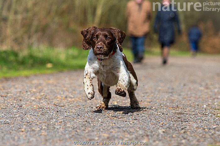 Springer spaniel running along track, people walking in background. Savernake Forest SSSI, Wiltshire, England, UK.  ,  Canis familiaris,Running,Animal,Outdoors,Domestic animal,Pet,Domestic Dog,Gun dog,Medium dog,English Springer Spaniel,Domesticated,Canis familiaris,Dog,Moving,Spaniel,Mammal,Track,Movement,  ,  TJ Rich