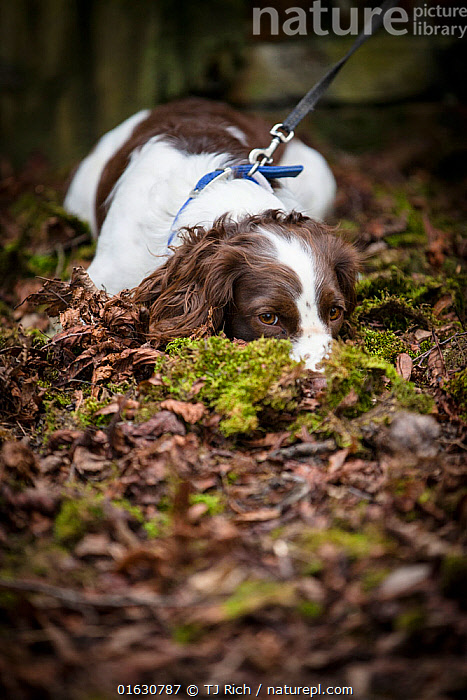 Young Springer Spaniel, lying down nose buried in leaf litter, on lead. Wiltshire, England, UK. March.  ,  Canis familiaris,Hiding,Lying down,Animal,Young Animal,Outdoors,Domestic animal,Pet,Domestic Dog,Gun dog,Medium dog,English Springer Spaniel,Domesticated,Canis familiaris,Dog,Direct Gaze,Spaniel,Mammal,  ,  TJ Rich