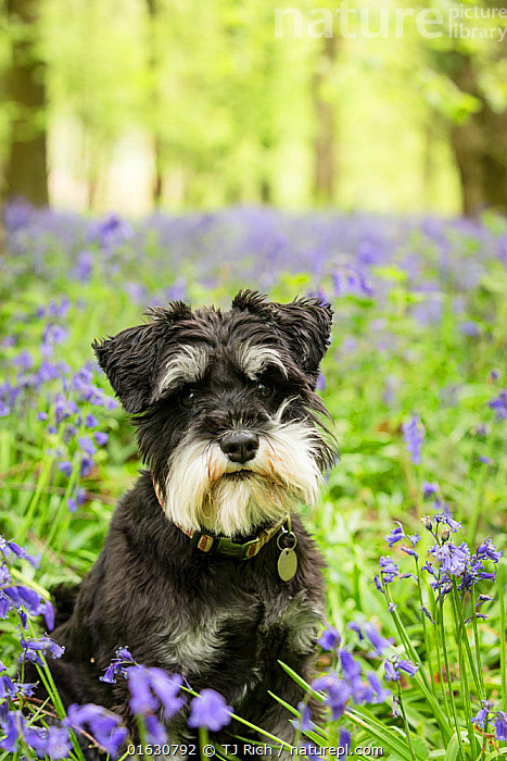 Miniature Schnauzer sitting in Bluebell (Hyacinthoides non-scripta) wood. Bedwyn Common, Savernake Forest SSSI, Wiltshire, England, UK. May., Canis familiaris,Sitting,Europe,Western Europe,UK,Great Britain,England,Wiltshire,Portrait,Animal,Plant,Flower,Outdoors,Domestic animal,Pet,Domestic Dog,Utility Dog,Small dog,Miniature Schnauzer,Domesticated,Canis familiaris,Dog,Direct Gaze,Mammal,, TJ Rich