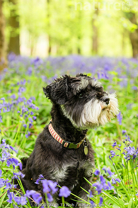 Miniature Schnauzer sitting in Bluebell (Hyacinthoides non-scripta) wood. Bedwyn Common, Savernake Forest SSSI, Wiltshire, England, UK. May., Canis familiaris,Sitting,Europe,Western Europe,UK,Great Britain,England,Wiltshire,Side View,Portrait,Animal,Plant,Flower,Outdoors,Domestic animal,Pet,Domestic Dog,Utility Dog,Small dog,Miniature Schnauzer,Domesticated,Canis familiaris,Dog,Mammal,, TJ Rich
