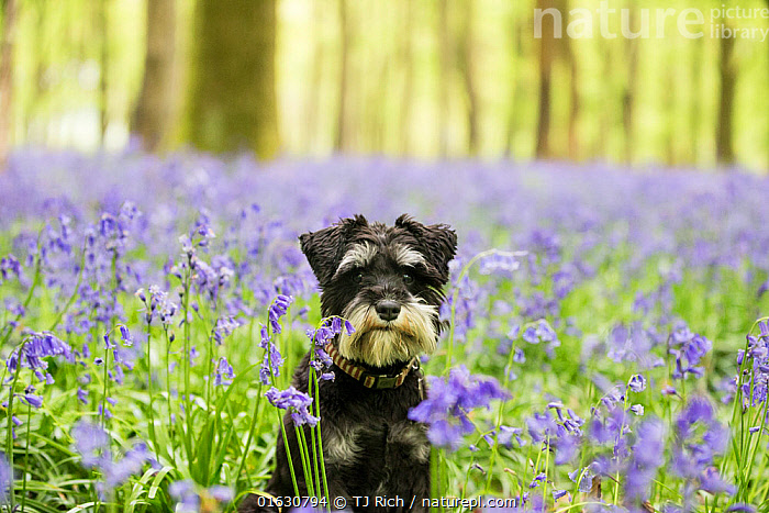 Miniature Schnauzer sitting in Bluebell (Hyacinthoides non-scripta) wood. Bedwyn Common, Savernake Forest SSSI, Wiltshire, England, UK. May., Canis familiaris,Sitting,Cute,Adorable,Colour,Blue,Europe,Western Europe,UK,Great Britain,England,Wiltshire,Animal,Plant,Flower,Outdoors,Spring,Domestic animal,Pet,Domestic Dog,Utility Dog,Small dog,Miniature Schnauzer,Domesticated,Canis familiaris,Dog,Direct Gaze,Mammal,, TJ Rich