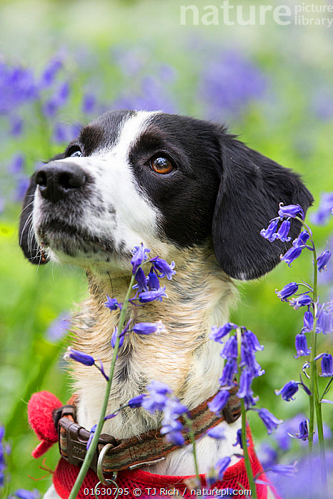 Black and white mongrel sitting amongst Bluebells, portrait. Gopher Wood SSSI, Marlborough Downs, Wiltshire, England, UK. May.  ,  Canis familiaris,Cross breed,Europe,Western Europe,UK,Great Britain,England,Wiltshire,Portrait,Animal,Crossbreed,Mongrel,Mongrels,Plant,Flower,Outdoors,Domestic animal,Pet,Domestic Dog,Domesticated,Canis familiaris,Dog,Cross breed,Mammal,  ,  TJ Rich